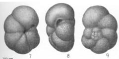 To Mikrotax (Globorotalia mayeri Cushman & Ellisor 1939)