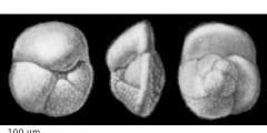 To Mikrotax (Globorotalia crassula Cushman & Stewart, in Cushman et al. 1930)