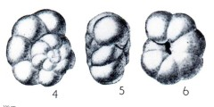 To Mikrotax (Globorotalia (Turborotalia) pseudokugleri Blow 1969)