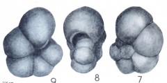 To Mikrotax (Globigerina siakensis LeRoy 1939)