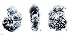 To Mikrotax (Pseudohastigerina Banner & Blow 1959)