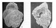 To Mikrotax (Globorotalia (Acarinina) praeangulata Blow 1979)