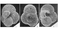 To Mikrotax (Globigerinita hardingae Blow 1979)