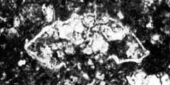 To Mikrotax (Globotruncana leupoldi Bolli 1945)
