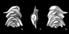 To Mikrotax (Grimsdaleinella spinosa Bolli 1959)