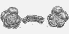 To Mikrotax (Globotruncana mayaroensis Bolli 1951)