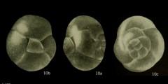 To Mikrotax (Catapsydrax parvulus Bolli, Loeblich & Tappan 1957)
