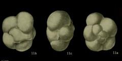 To Mikrotax (Catapsydrax stainforthi Bolli, Loeblich & Tappan 1957)