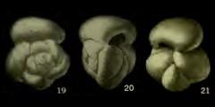 To Mikrotax (Globorotalia tortiva Bolli 1957)