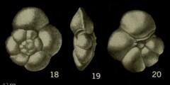 To Mikrotax (Globorotalia ehrenbergi Bolli 1957)