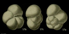 To Mikrotax (Globorotalia pseudomayeri Bolli 1957)