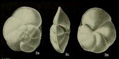 To Mikrotax (Globorotalia renzi Bolli 1957)
