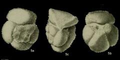 To Mikrotax (Globorotalia bullbrooki Bolli 1957)