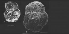 To Mikrotax (Globorotalia (Turborotalia) riedeli Brönnimann & Resig 1971)