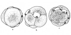 To Mikrotax (GlobigerinathekaBronnimann, 1952)