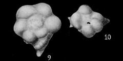 To Mikrotax (Planoglobulina Cushman 1927)