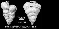To Mikrotax (PseudotextulariaRzehak 1891)