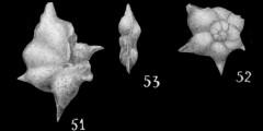 To Mikrotax (Globorotalia palmerae Cushman & Bermudez 1937)