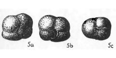 To Mikrotax (Sphaeroidinella rutschi Cushman & Renz 1941)