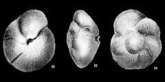To Mikrotax (Globorotalia (Truncorotalia) broedermanni Cushman & Bermudez 1949)