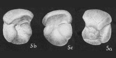 To Mikrotax (Globorotalia quadraria Cushman & Ellisor 1939)