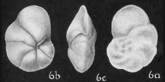 To Mikrotax (Globorotalia fohsi Cushman & Ellisor 1939)