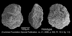To Mikrotax (Pulvinulina crassata Cushman 1925)