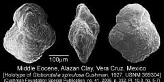 To Mikrotax (Globorotalia spinulosa Cushman 1927)
