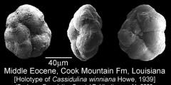 To Mikrotax (Cassidulina winniana Howe 1939)