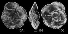 To Mikrotax (Globotruncana schneegansi Sigal 1952)