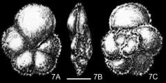 To Mikrotax (Globorotalia delrioensis Plummer 1931)