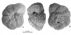 To Mikrotax (Acarinina planodorsalis Fleisher 1974)