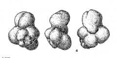 To Mikrotax (Tectoglobigerina Fuchs 1973)