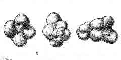 To Mikrotax (Polskanella Fuchs 1973)