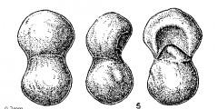 To Mikrotax (Polskanella bisphaerica Fuchs 1973)