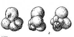 To Mikrotax (Globuligerina frequens Fuchs 1973)