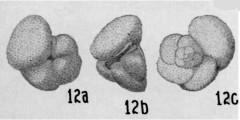 To Mikrotax (Globigerina crassaformis Galloway & Wissler 1927)