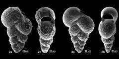 To Mikrotax (Steineckia Georgescu 2009)