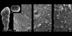 To Mikrotax (Praeplanctonia globifera Georgescu 2009)