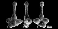 To Mikrotax (Asymetria asymetrica Georgescu 2012)