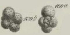 To Mikrotax (Globigerina eocaena Guembel 1868)