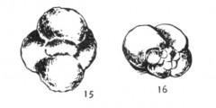 To Mikrotax (Globigerina occlusa Herman 1974)