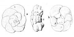 To Mikrotax (Globotruncana linneiformis Hofker 1956)