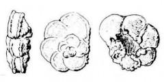 To Mikrotax (Globotruncana aspera Hofker 1956)