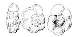 To Mikrotax (Marginotruncana paraventricosa Hofker 1956)