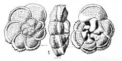 To Mikrotax (Marginotruncana arcaformis Hofker 1978)