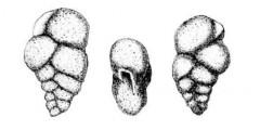 To Mikrotax (Guembelina mauriciana Howe & Roberts 1939)