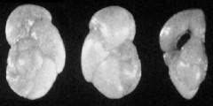 To Mikrotax (Globorotalia conica Jenkins 1960)