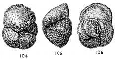 To Mikrotax (Globorotalia dolabrata Jenkins 1966)