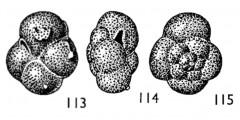 To Mikrotax (Globorotalia insolita Jenkins 1966)